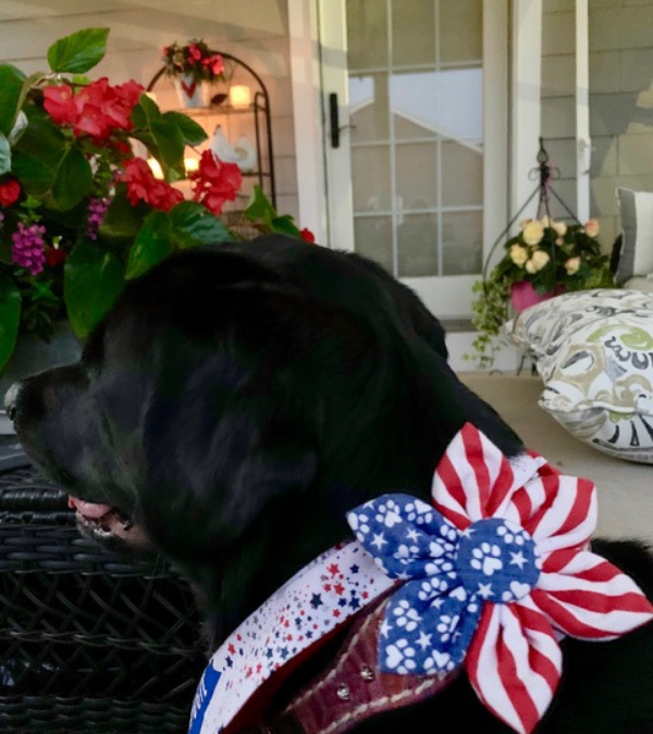 Two Adorable Labs Celebrating Independence Day
