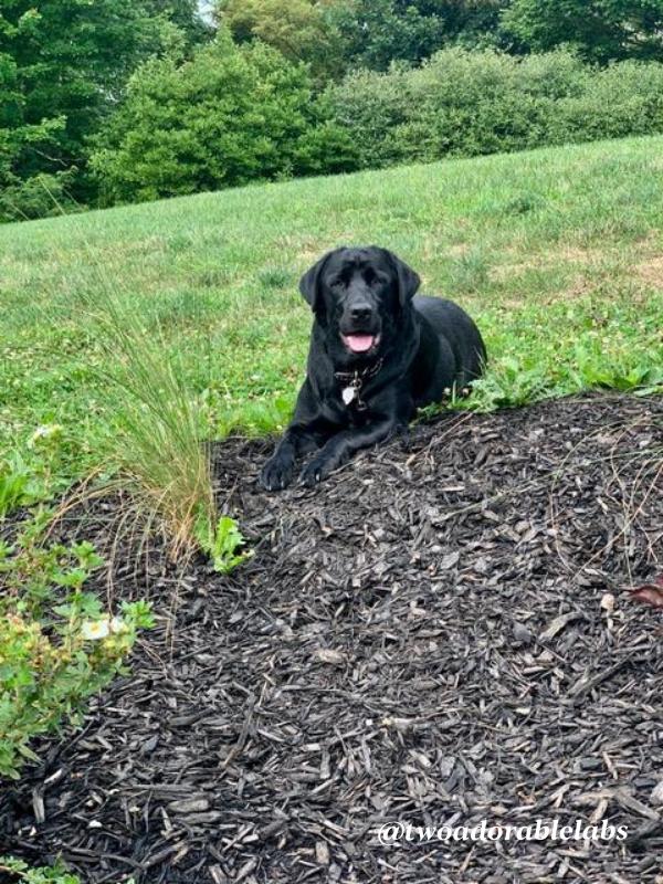 Maggie in the mulch