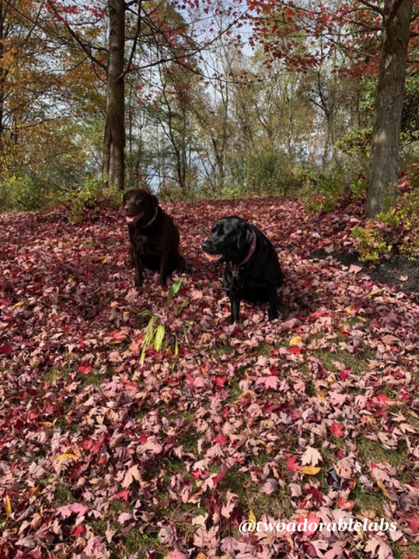 Dogs playin in the leaves