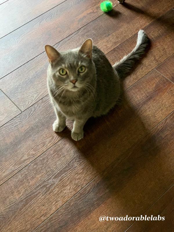 What Is Bobcat Fever | www.twoadorablelabs.com